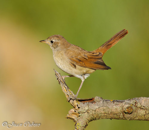 http://www.sierradebaza.org/Fichas_fauna/00_Aves/11-08_ruisenor/img_5.jpg