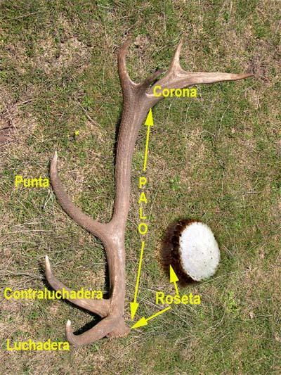 CIERVO (Cervus elaphus)