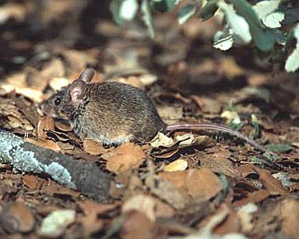 Ratón caminando