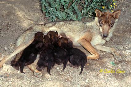 Lobo común